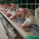 ممنوعیت صادرات گوشت مرغ